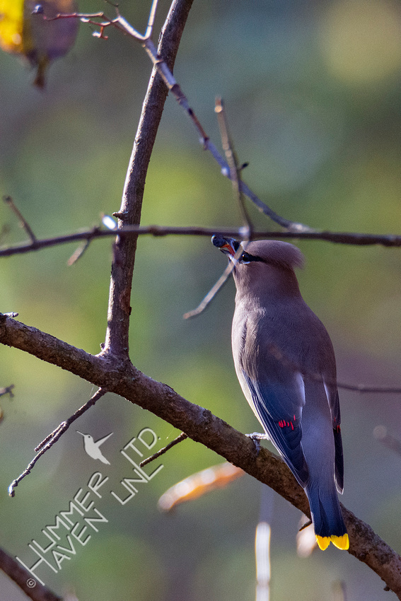 11-6-20 Cedar Waxwing with Blackhaw fruit