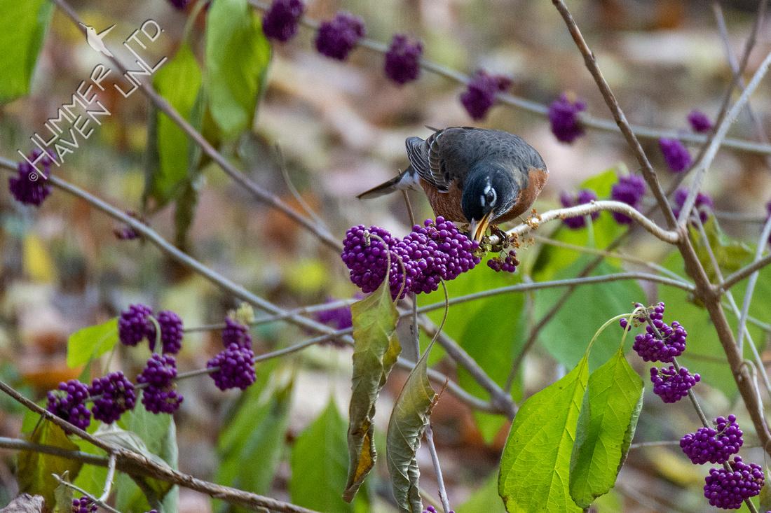 11-9-20 American Robin on American Beautyberry (Callicarpa americana)