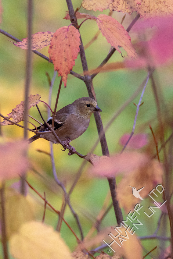 11-9-20 American Goldfinch in Viburnum (Viburnum dentatum x Blue Muffin)