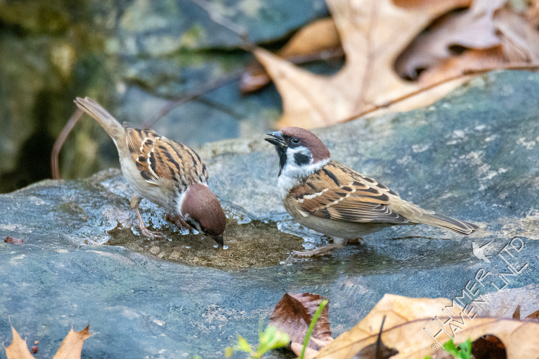 11-10-20 Eurasian Tree Sparrows