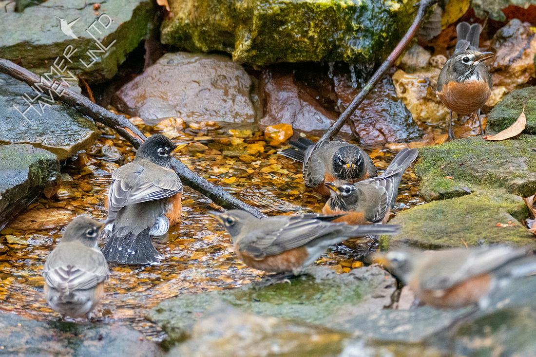 11-10-20 American Robins