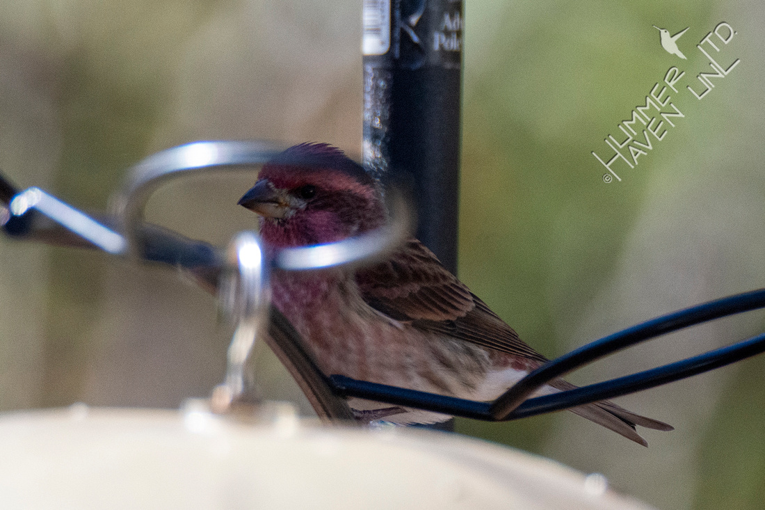 11-13-20 FOS Purple Finch