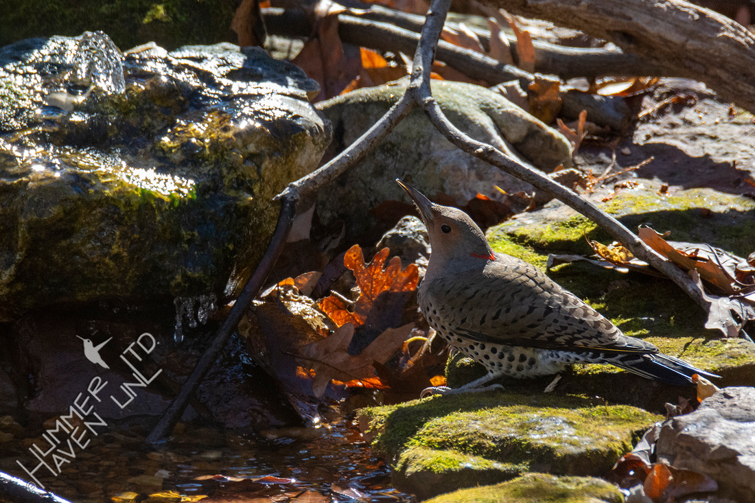 11-13-20 Northern Flicker female