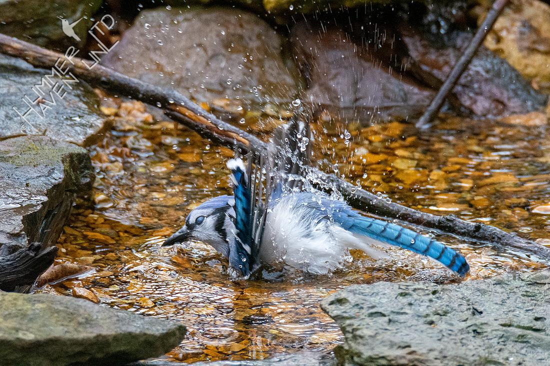 11-20-20 Blue Jay