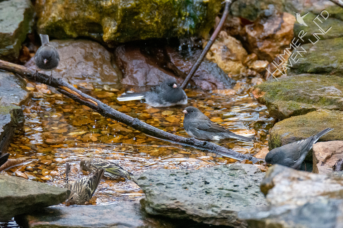 11-20-20 Dark-eyed Juncos and Pine Siskins