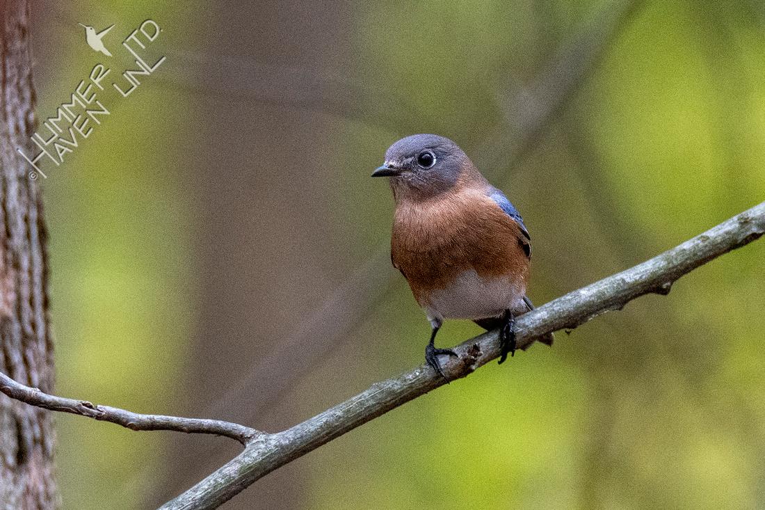 11-20-20 Eastern Bluebird