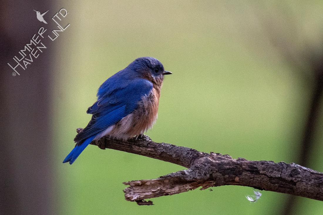 11-29-20 Eastern Bluebird