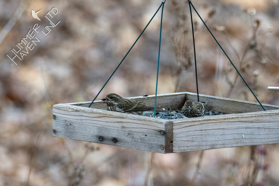12-3-20 Purple Finch female and Pine Siskin