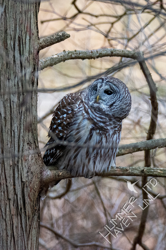 12-7-20 Barred Owl