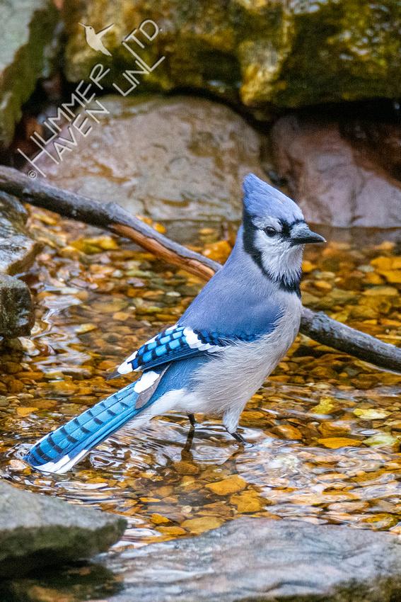 12-11-20 Blue Jay