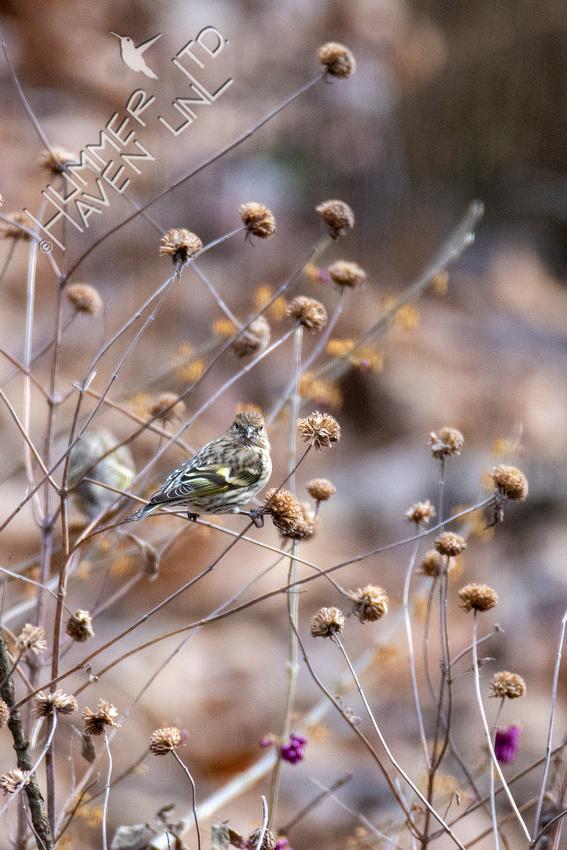 12-15-20 Pine Siskin at Beebalm (Monarda fistulosa)