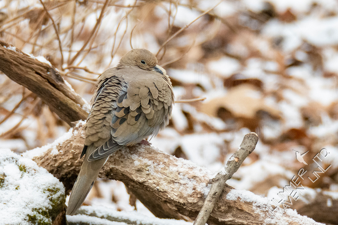 12-16-20 Mourning Dove in snow