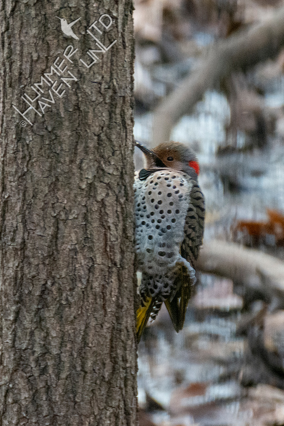 12-24-20 Northern Flicker with broken leg