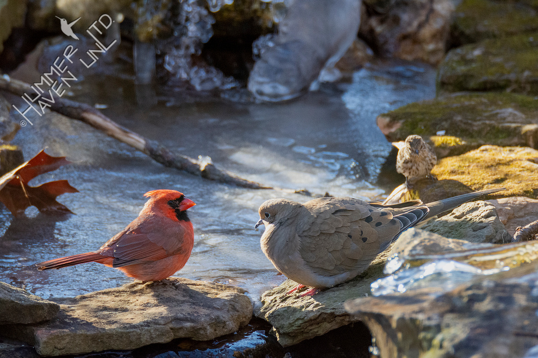 12-25-20 Northern Cardinal, Mourning Dove and Pine Siskin