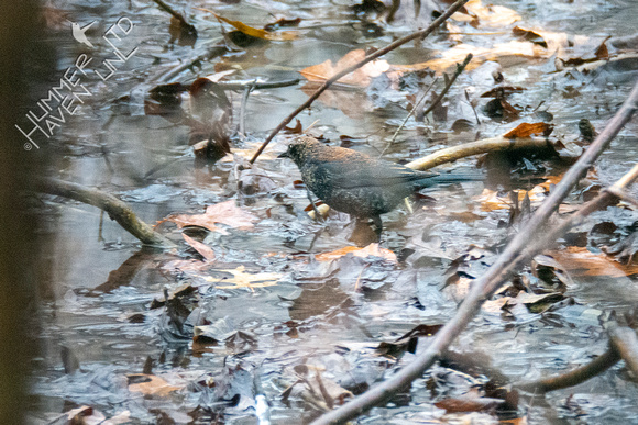 1-1-21 Rusty Blackbird
