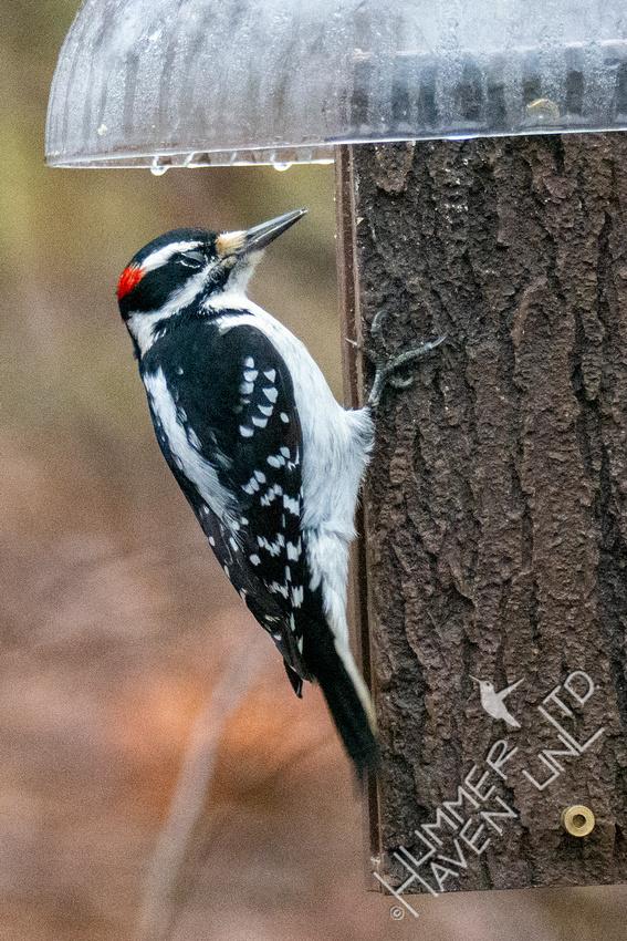 1-2-21 Hairy Woodpecker