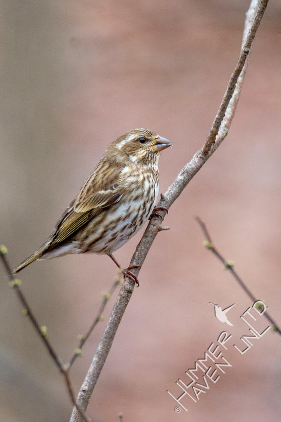 1-3-21 Purple Finch female in Spicebush