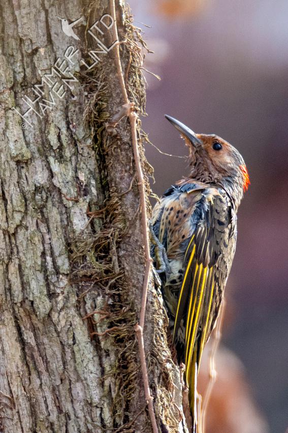 1-5-21 Northern Flicker female