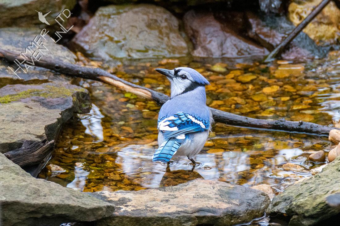 1-8-21 Blue Jay