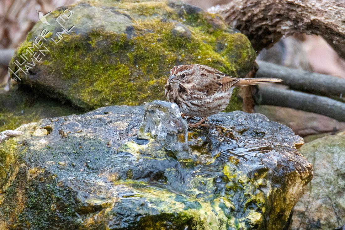 1-15-21 Song Sparrow