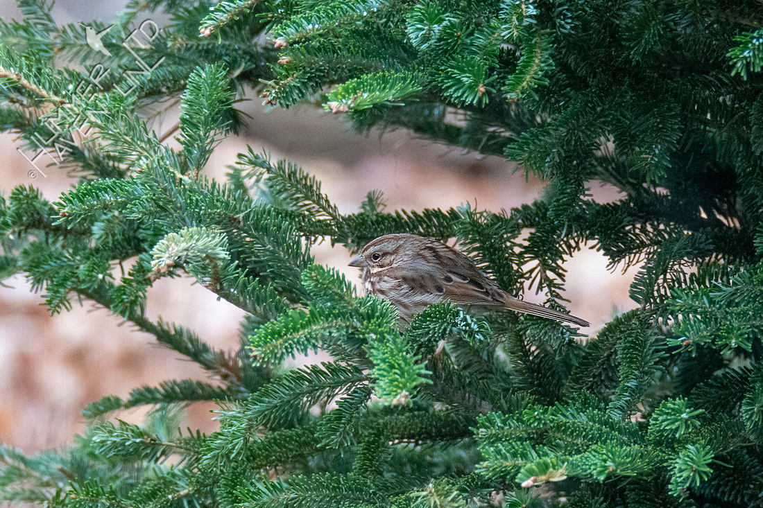 1-15-21 Song Sparrow in cover of Christmas tree