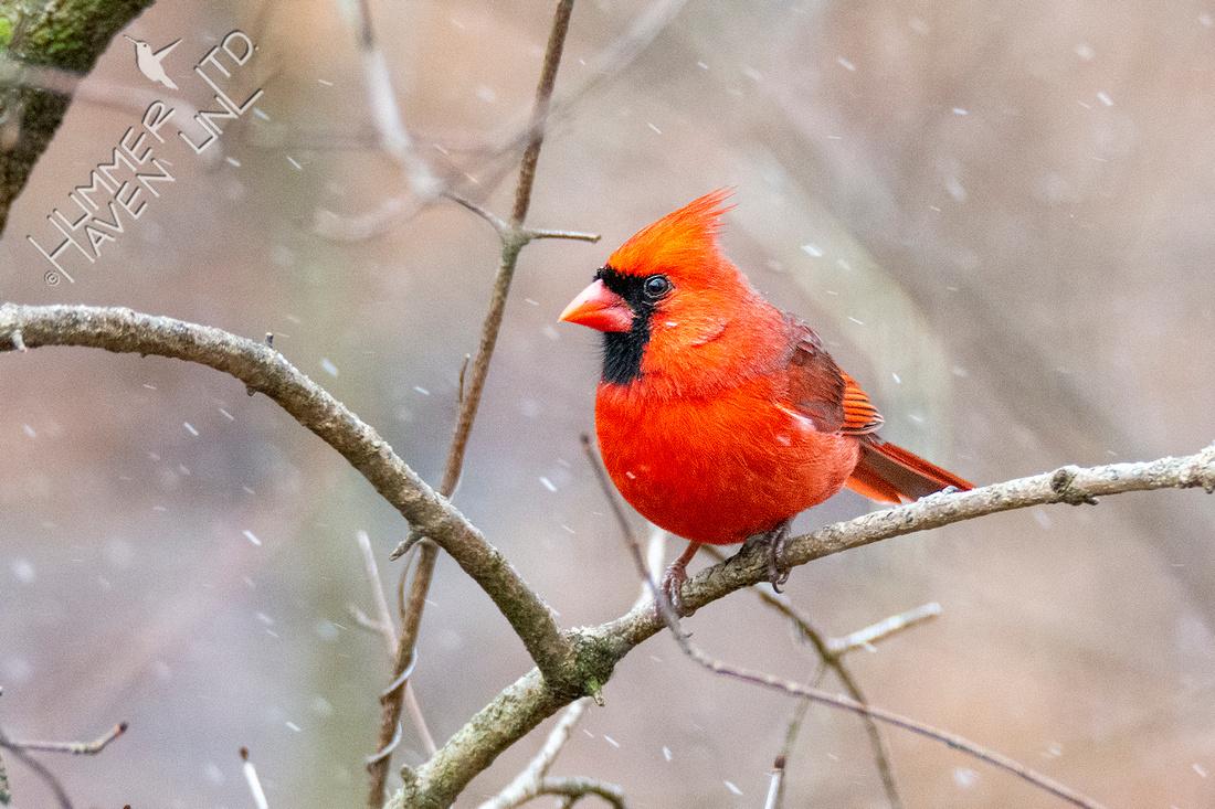 1-15-21 Northern Cardinal