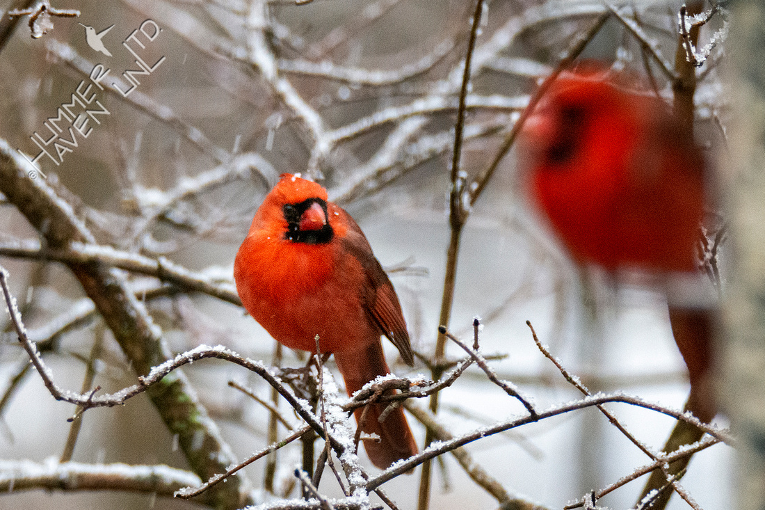 1-15-21 Northern Cardinal waiting to get on feeder