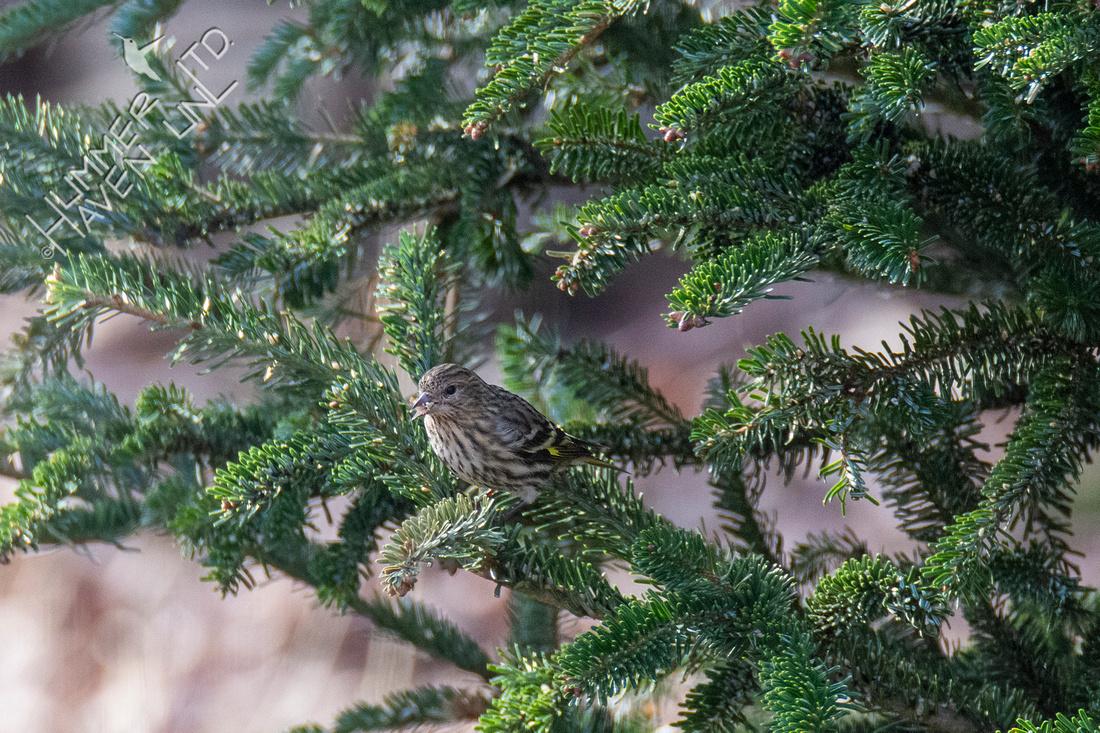 1-19-21 Pine Siskin
