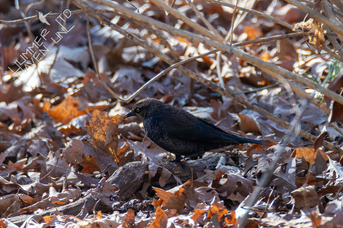 1-23-21 Rusty Blackbird