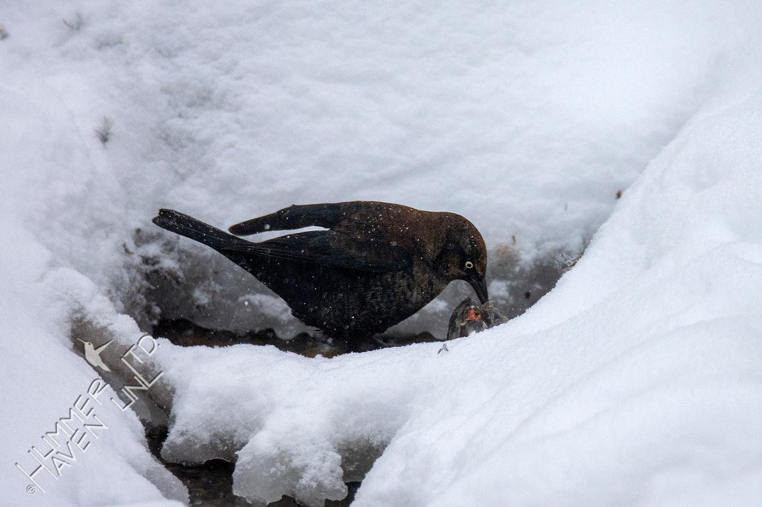 2-15-21 Rusty Blackbird #2 eats American Goldfinch