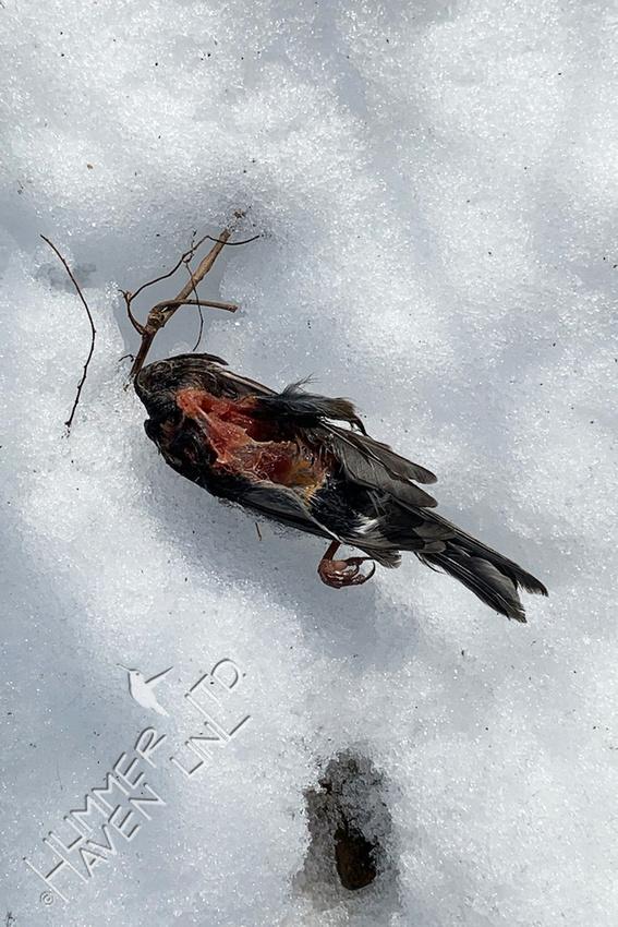 2-21-21 Carcass of American Goldfinch taken 2-15-21