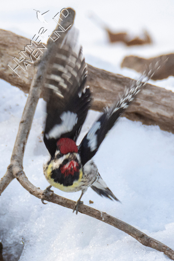 2-21-21 Red-naped Sapsucker female (MBRC)