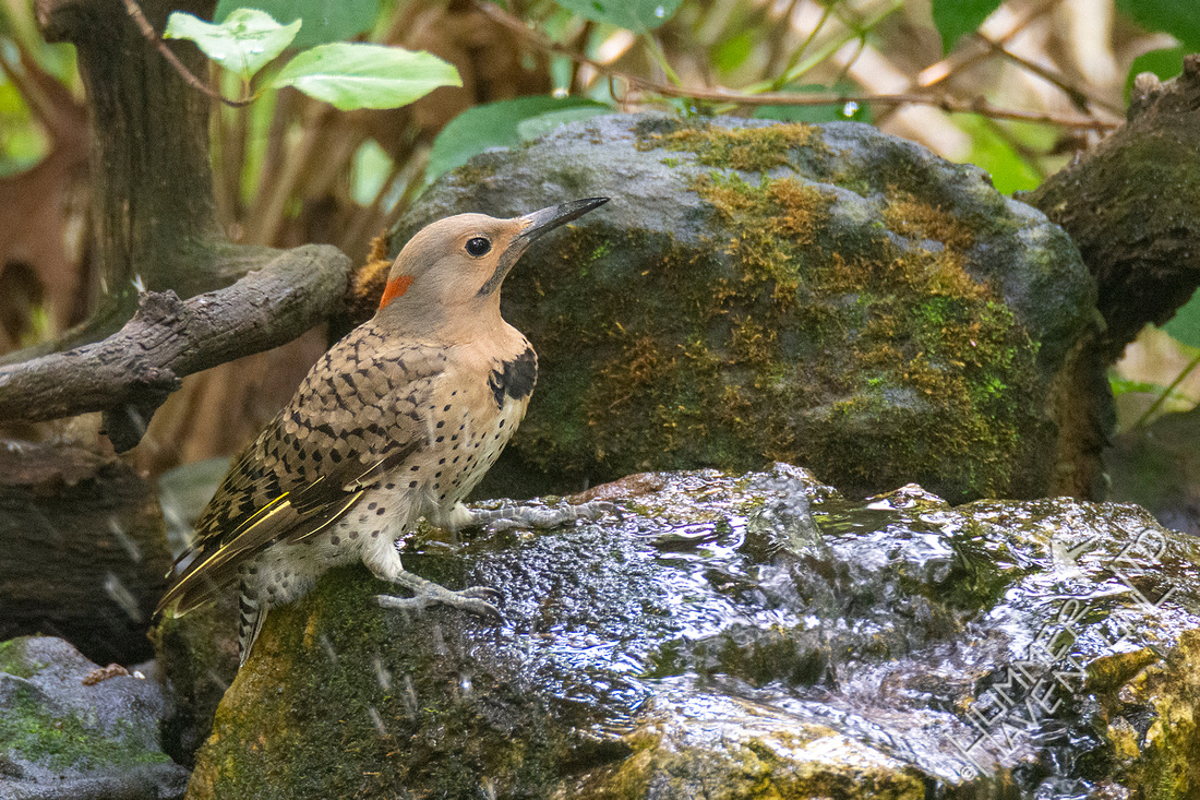 7-29-21 Northern Flicker, juvenile male