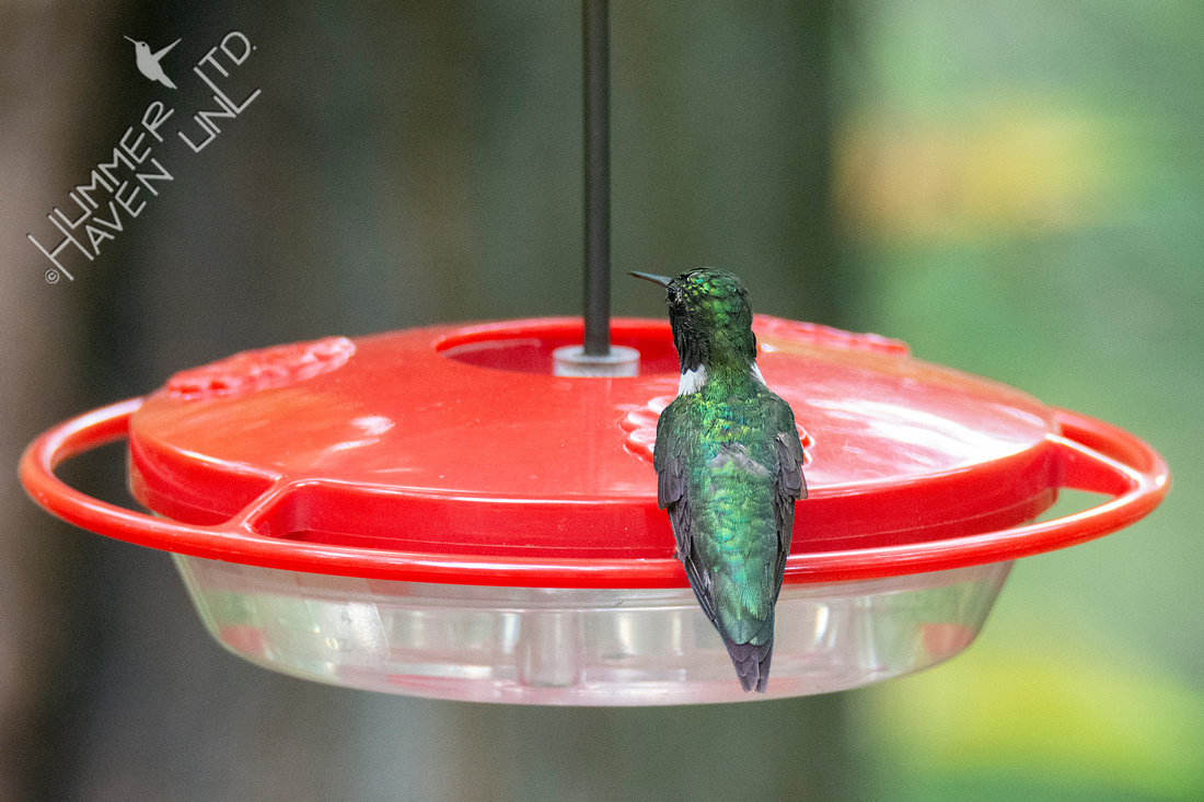 7-31-21 Ruby-throated Hummingbird #2