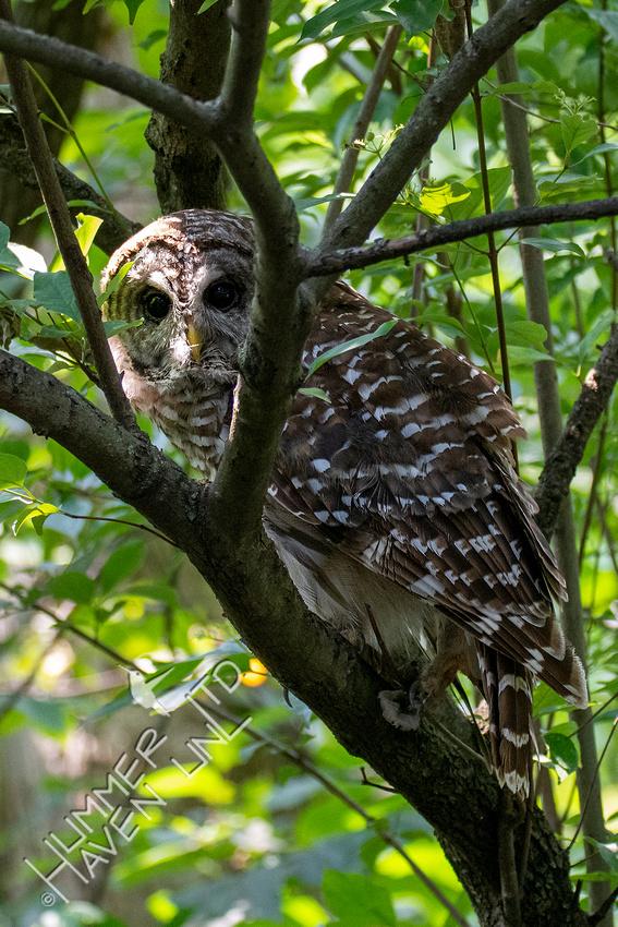 8-2-21 Barred Owl