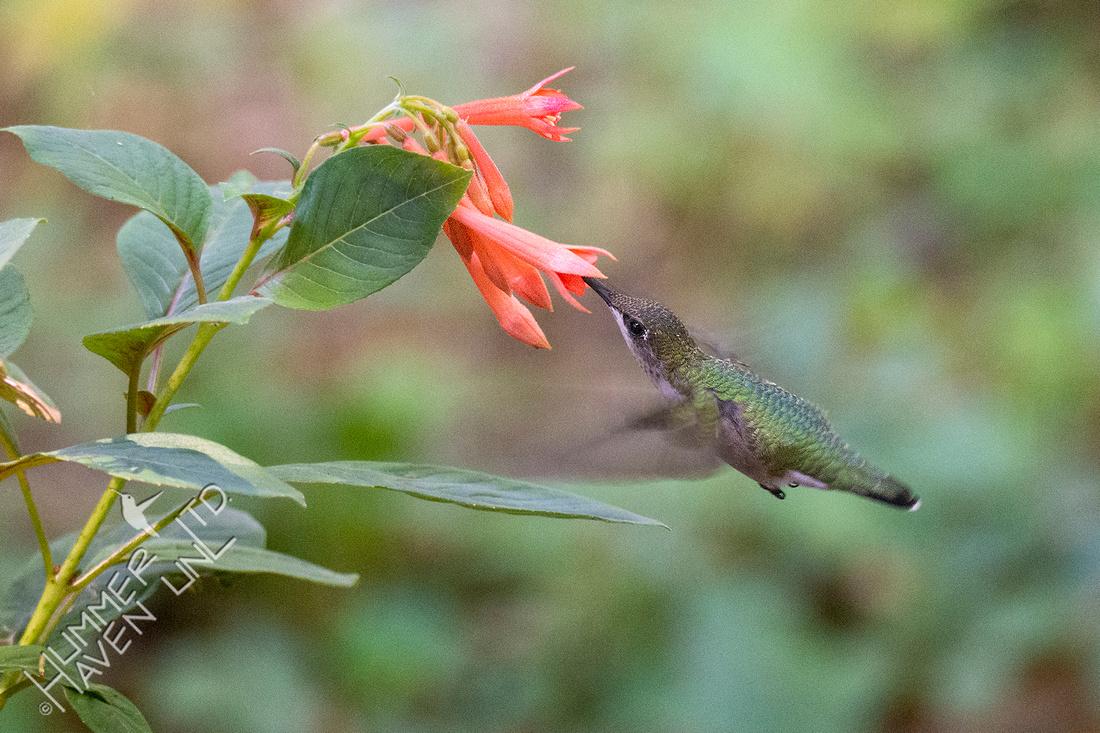 8-4-21 Ruby-throated Hummingbird at Fuchsia gartenmeister (annual)