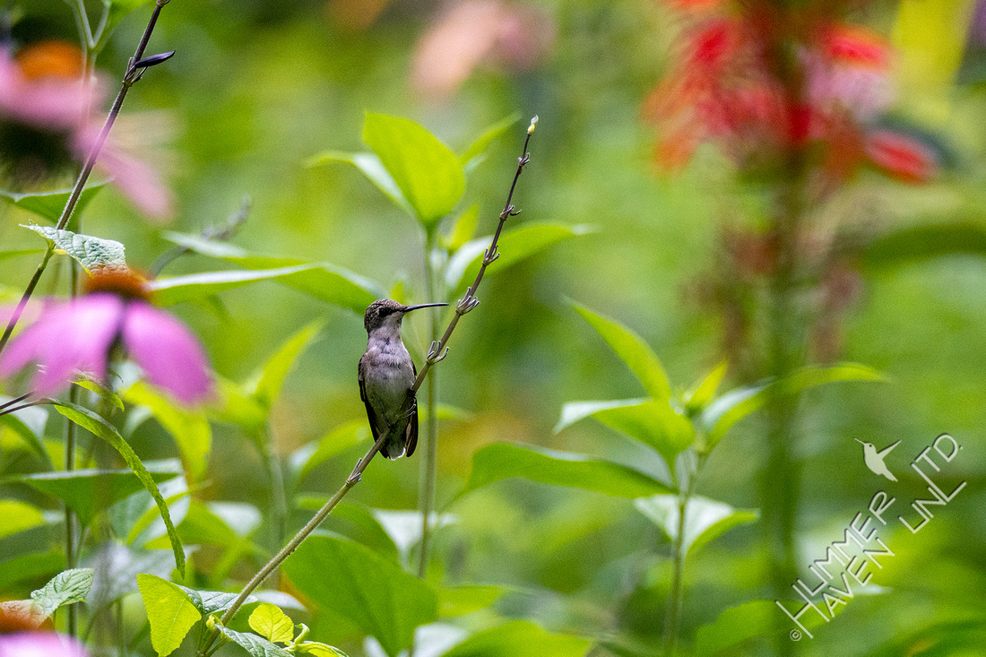 8-5-21 Ruby-throated Hummingbird juvenile, perched
