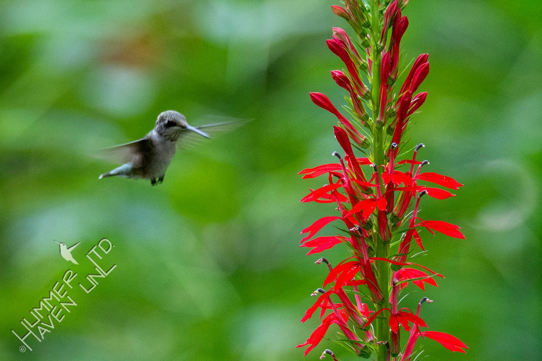 8-5-21 Ruby-throated Hummingbird juvenile