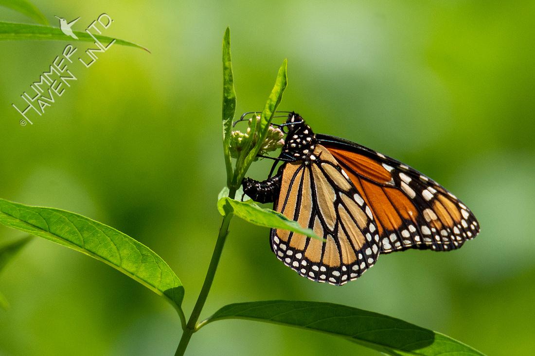8-5-21 Monarch laying eggs on Marsh Milkweed (Asclepias incarnata)