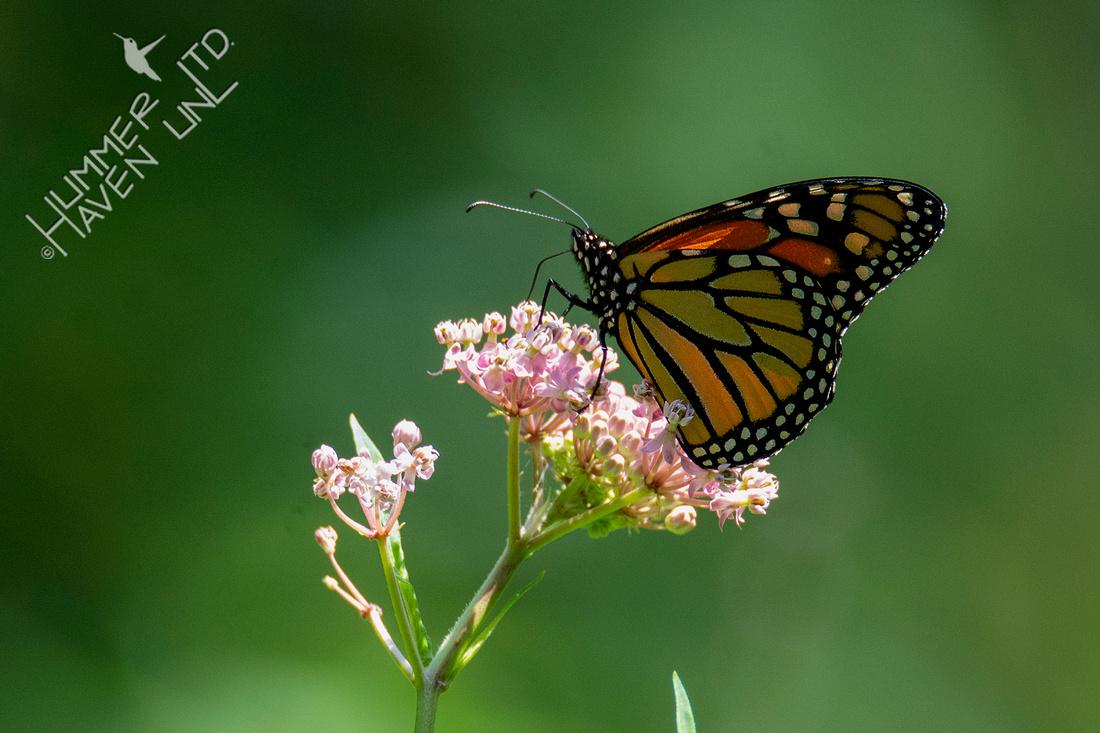 8-5-21 Monarch on Marsh Milkweed (Asclepias incarnata)