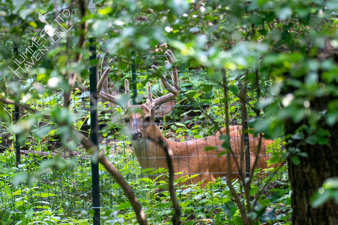 8-3-21 11 point Buck at fence