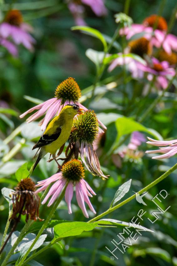 8-7-21 American Goldfinch on Purple Coneflower