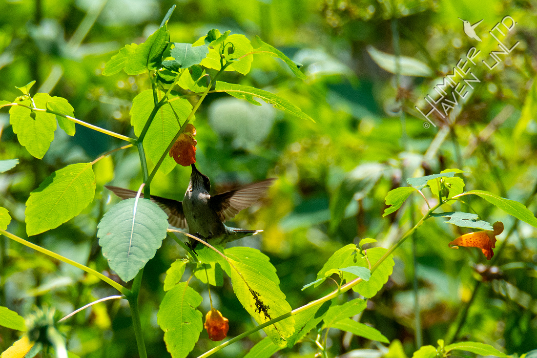 8-7-21 Ruby-throated Hummingbird at Jewelweed (Impatiens capensis)
