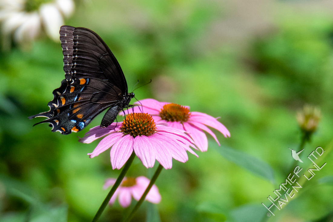 8-13-21 E. Tiger Swallowtail female on Purple Coneflower