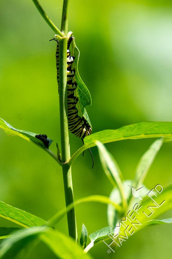 8-13-21 Monarch caterpillar on Marsh Milkweed
