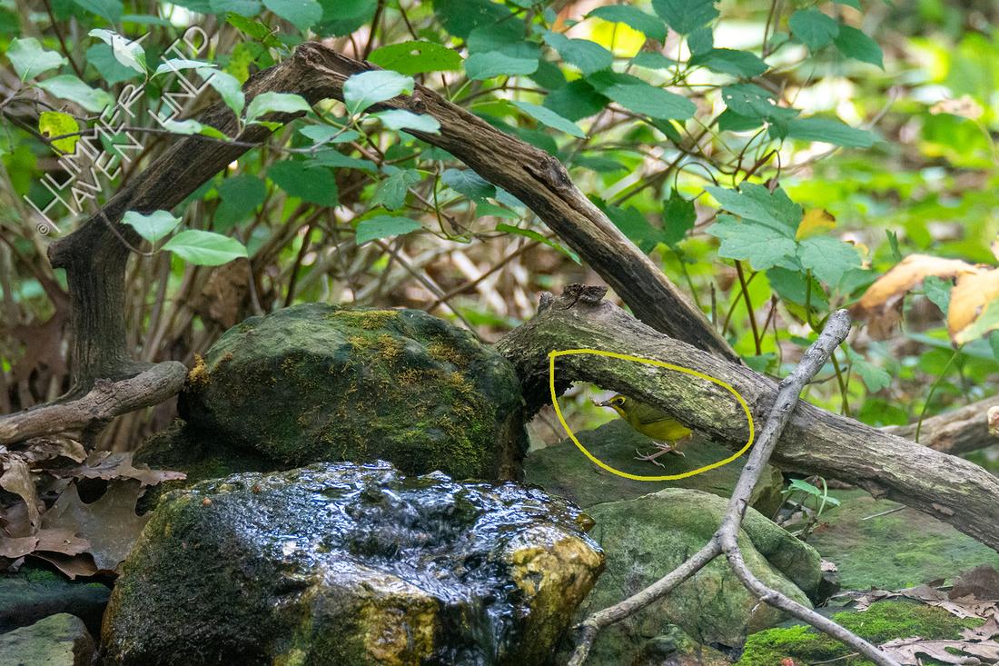 8-14-21 FOS Kentucky Warbler female Bubbler Bird #78