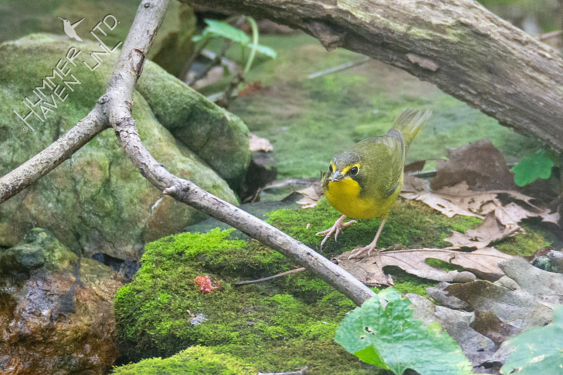 8-14-21 FOS Kentucky Warbler female with insect