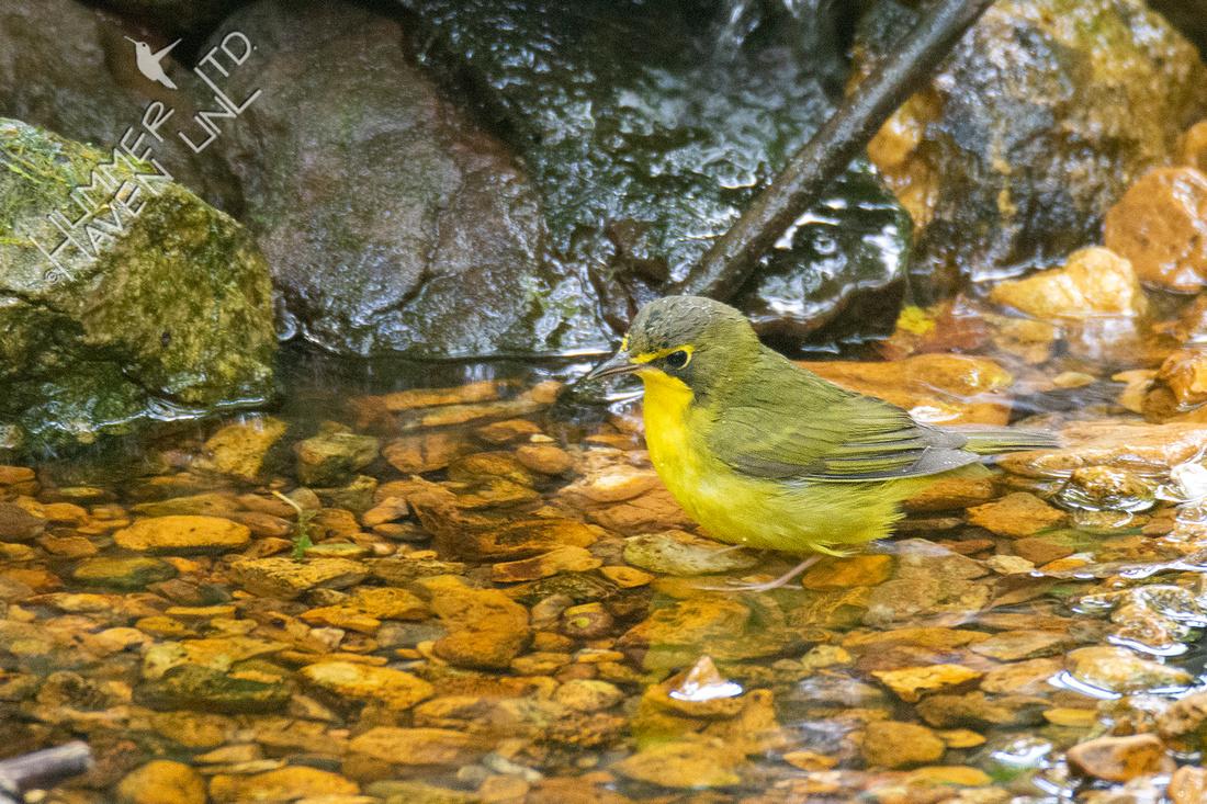 8-14-21 FOS Kentucky Warbler female