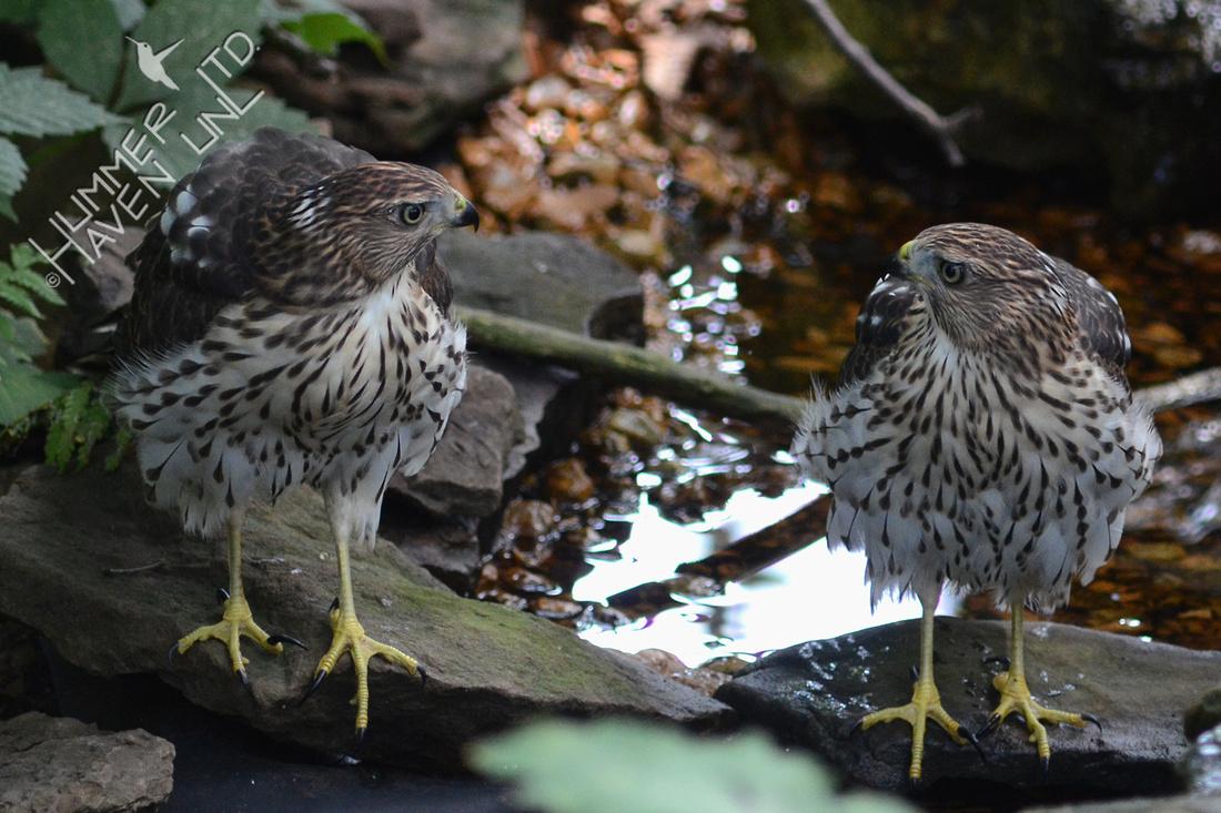 Cooper's Hawk pair
