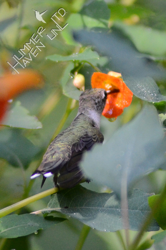 Ruby-throated Hummingbird perched on Jewelweed (Impatiens capensis)